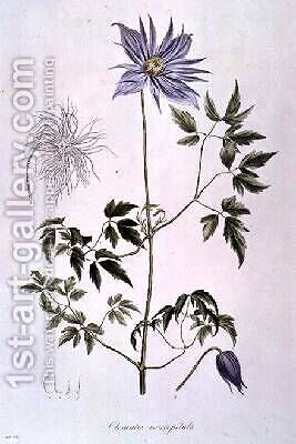 Clematis macropetala by C. F. Ledebour - Reproduction Oil Painting