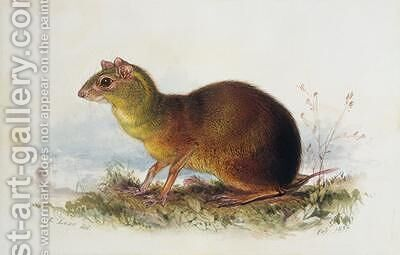 Aronilby Brown Rat-Type by Edward Lear - Reproduction Oil Painting