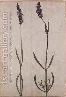 Lavandula officinalis Old English Lavender by Jacques (de Morgues) Le Moyne - Reproduction Oil Painting