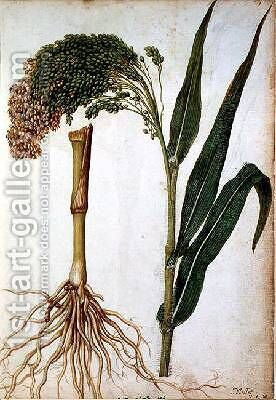 Setaria italica by Jacques (de Morgues) Le Moyne - Reproduction Oil Painting