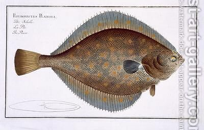 Plaice Pleuronectes Platessa by Andreas-Ludwig Kruger - Reproduction Oil Painting