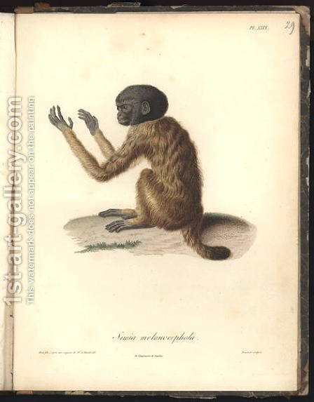 Simia melanocephala by (after) Humboldt, Friedrich Alexander, Baron von - Reproduction Oil Painting