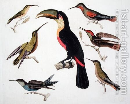 Native birds including the Toucan centre Amazon Brazil by (after) Humboldt, Friedrich Alexander, Baron von - Reproduction Oil Painting