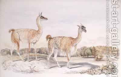 Guanaco from The Knowsley Menagerie by Benjamin Waterhouse Hawkins - Reproduction Oil Painting