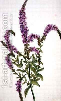 Purple Spiked Willow Herb Epilobium by Amelia Fancourt - Reproduction Oil Painting