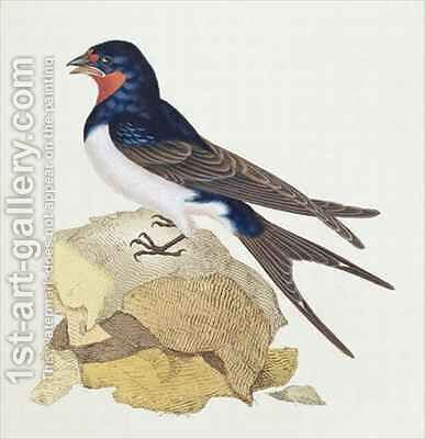Swallow from The History of British Birds by Edward Donovan - Reproduction Oil Painting