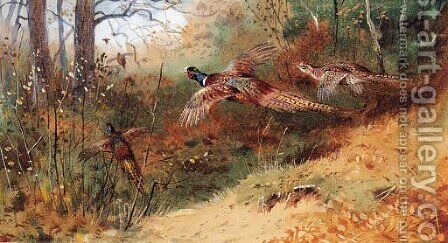 Cock Pheasants and a Hen Pheasant in flight by Archibald Thorburn - Reproduction Oil Painting