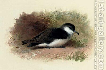 Dusky Shearwater, Puffinus Obscurus by Archibald Thorburn - Reproduction Oil Painting