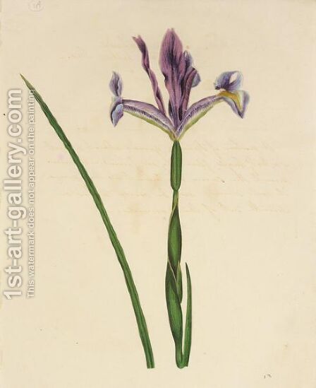 Iris by (after) James Sowerby - Reproduction Oil Painting