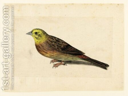 Study Of A Yellowhammer by Jacques (de Morgues) Le Moyne - Reproduction Oil Painting
