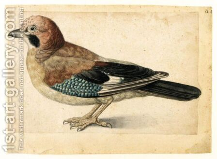 Study Of A Jay by (after) Le Moyne, Jacques (de Morgues) - Reproduction Oil Painting