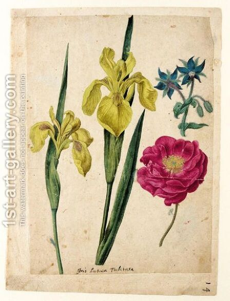 A Sheet Of Studies Of Flowers A Borage, A French Rose And Two Wild Irises 'Yellow Flag' by Jacques (de Morgues) Le Moyne - Reproduction Oil Painting