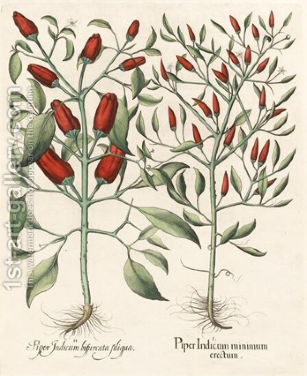 Piper Indicum Minimum Erectum, Piper Indicum Bisfurcata Siliqua by Basilius Besler - Reproduction Oil Painting