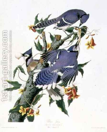 Cyanocitta cristata (Blue Jay) a male and two females by (after) Audubon, John James - Reproduction Oil Painting