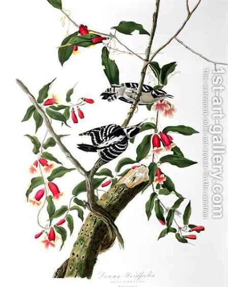 Downy Woodpecker, from 'Birds of America' by (after) Audubon, John James - Reproduction Oil Painting
