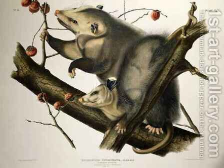 Virginian Opossum, from 'Quadrupeds of America' by (after) Audubon, John James - Reproduction Oil Painting