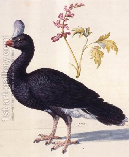 Study of a Helmeted Curassow by Giuseppe Arcimboldo - Reproduction Oil Painting