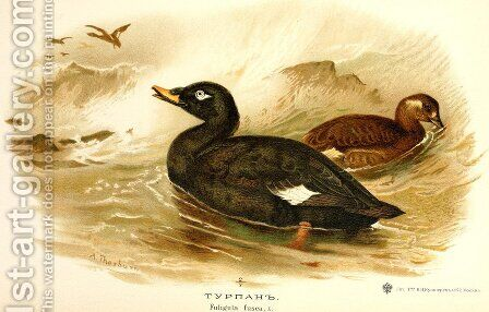 Velvet Scoter by Archibald Thorburn - Reproduction Oil Painting