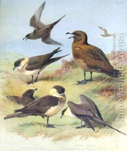 Richardson's Skua, Great  Skua, Pomarine Skua by Archibald Thorburn - Reproduction Oil Painting